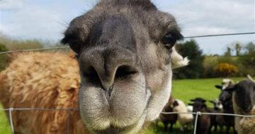 llama at Blackwater Open Farm