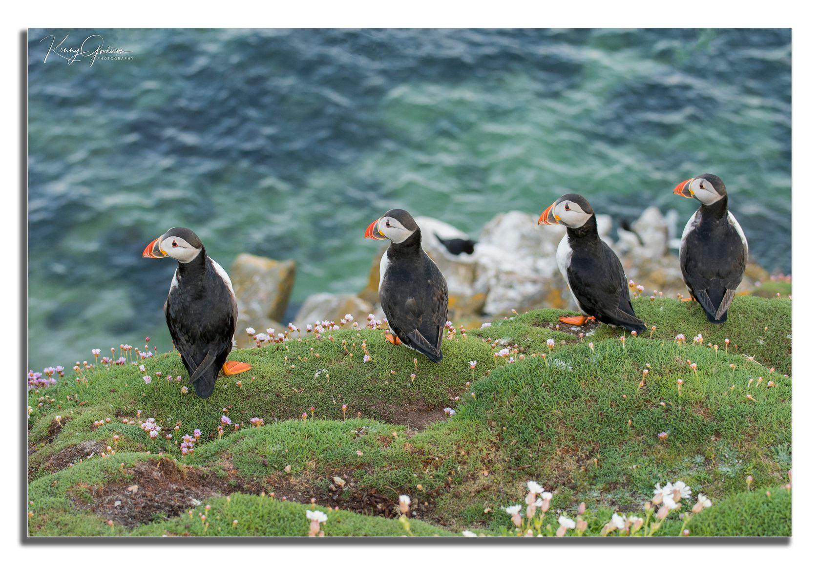 Puffins en las Saltee Islands